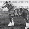 Edingale Franklin, reserve supreme champion stallion at Derby 1946 from E.J. Holland