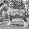 W.H.H. Crutchley's gelding Duke,  Scarisbrick show 1954