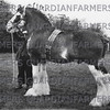 Charter, Clydesdale champion from W. Grant's stud, Whitefield.