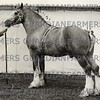 Bradgate Grey Knight 1956 stallion champion<br /> <br /> <br /> 54