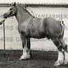 Bradgate Grey Knight 1956 stallion champion<br /> <br /> <br /> 54