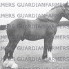 Belchers  Stud 1951 unknown shire
