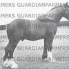 Belchers  Stud 1951 unknown shire