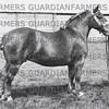 Mr Frank Sainsbury's (Haverhill) Elmah of Wratting, champion Suffolk mare at Wolverhampton Royal show