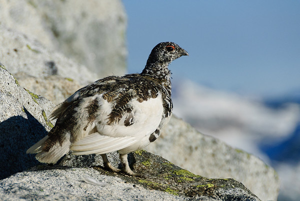 Ptarmigan on Hiddem Lakes Peak, North Cascades