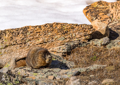 A yellow bellied marmot  at  12,000 ft on Trail Ridge Road.