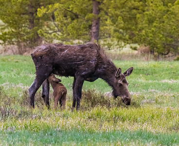 Baby nurses while mama grazes.