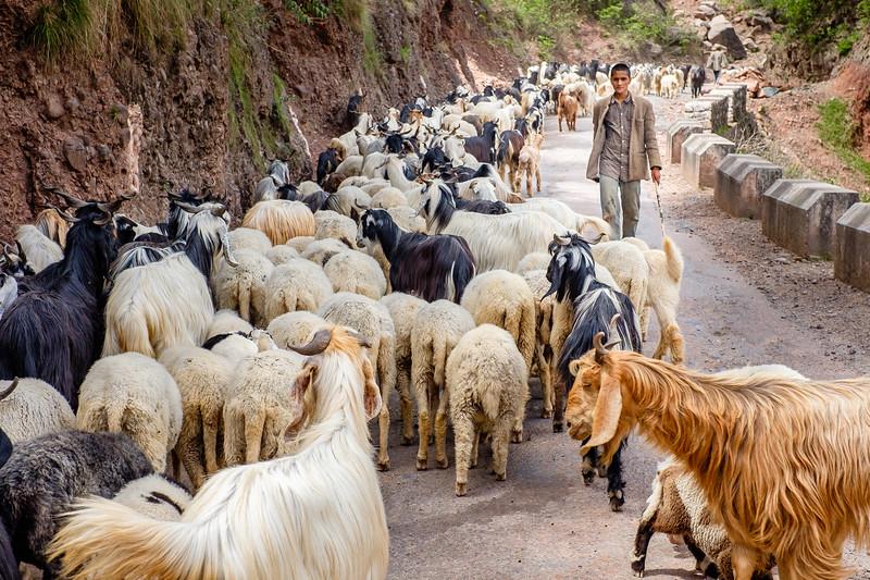 Gaddi Goat Herder