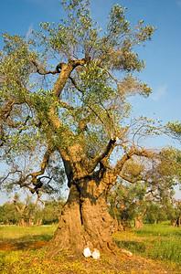Old Olive Tree (Olea europaea), Italy