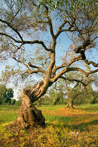 Old Olive Tree, Puglia