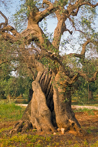 Old Olive Tree at Olive Plantation in Apulia, Italy