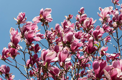 Magnolia, Kiso Valley