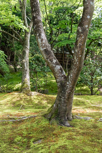 Trees at moss garden of Ginkaku-ji (Zen Temple of Silver Pavilion), Kyoto, Japan