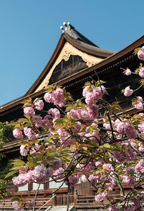 Cherry tree in bloom in front of Zenko-ji (Zenkoji) Temple, Nagano, Japan
