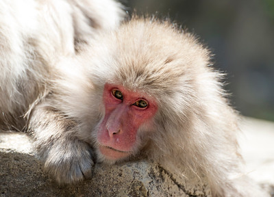 Japanese Macaque (Macaca fuscata) at Snow Monkey Park in Jigokudani, Yamanouchi, Japan