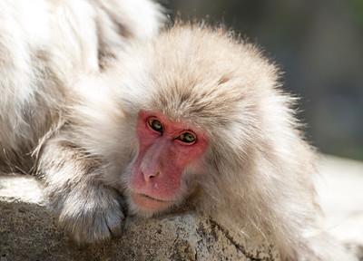 Japanese Macaque (Macaca fuscata) at Snow Monkey Park in Jigokudani, Yamanouchi, Japan
