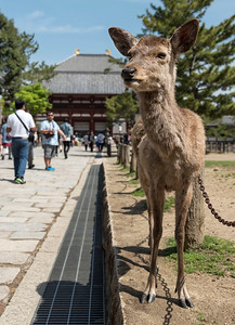 Tame sika deer outside Todaiji (Todai-ji) Temple, Nara, Japan