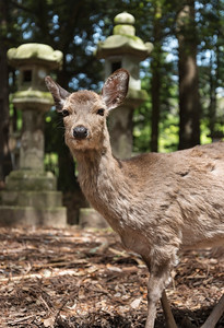 Sika deer and stone lanterns along the path to Kasuga Taisha Shrine in Nara, Japan