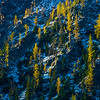 Larches in snow, Central Cascades