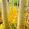 Aspens in autumn, Colorado