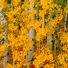 Aspen grove, Cascade Mountains, Washington