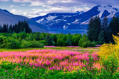 Glowing fireweed and the Mendenhall Glacier, Juneau, Alaska