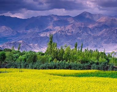 Mustard field, Ladakh, India