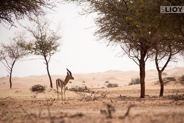 Arabian Gazelle at the Dubai Desert Conservation Reserve