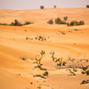 Arabian Gazelles in the sand dunes of the Dubai Desert Conservation Reserve