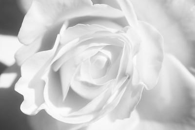 20190918 - A Rose in the Sun