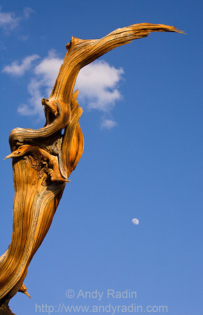 Bristlecone pine and moonrise, White Mountains, CA