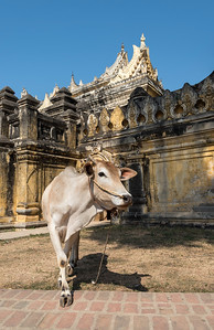 Cow outside Maha Aungmye Bonzan (Mahar Aung Mye Bon San) Monastery, Inwa near Mandalay, Burma (Myanmar)