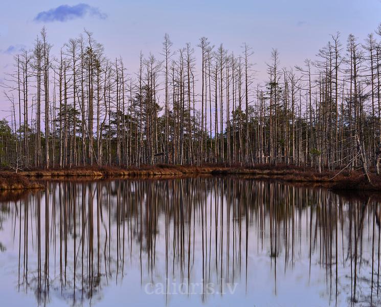 Dead trees near lake Skaists in Cenas marshland / Miruši koki Skaista ezera krastā Cenas tīrelī