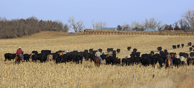 Moving the herd, Elm Creek, NE (Nov 2007)
