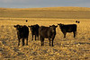 Nebraska cows, Elm Creek, NE (Nov 2007)