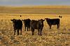 Nebraska cows, Elm Creek, NE (Nov 2007)