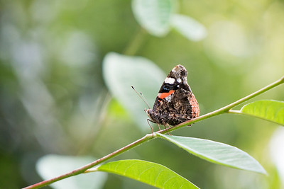 Female Red Admiral