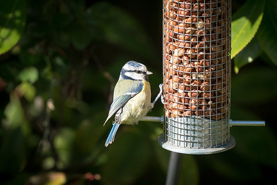 Mr Bluetit
