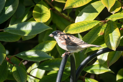 Sparrow in the Shadows