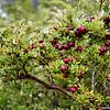 Calafate berries in Patagonia's Bernardo O'Higgins National Park.