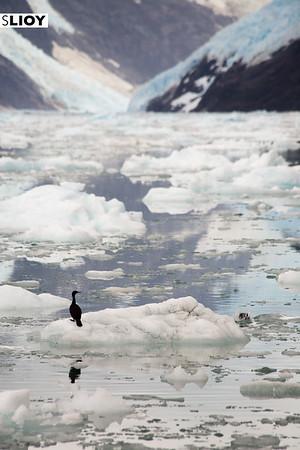 Cormorants on the icebergs of Chile's Bernardo O'Higgins National Park in Patagonia.