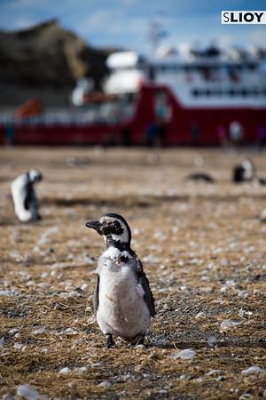 Magellanic Penguin on Isla Magdalena in Patagonia.
