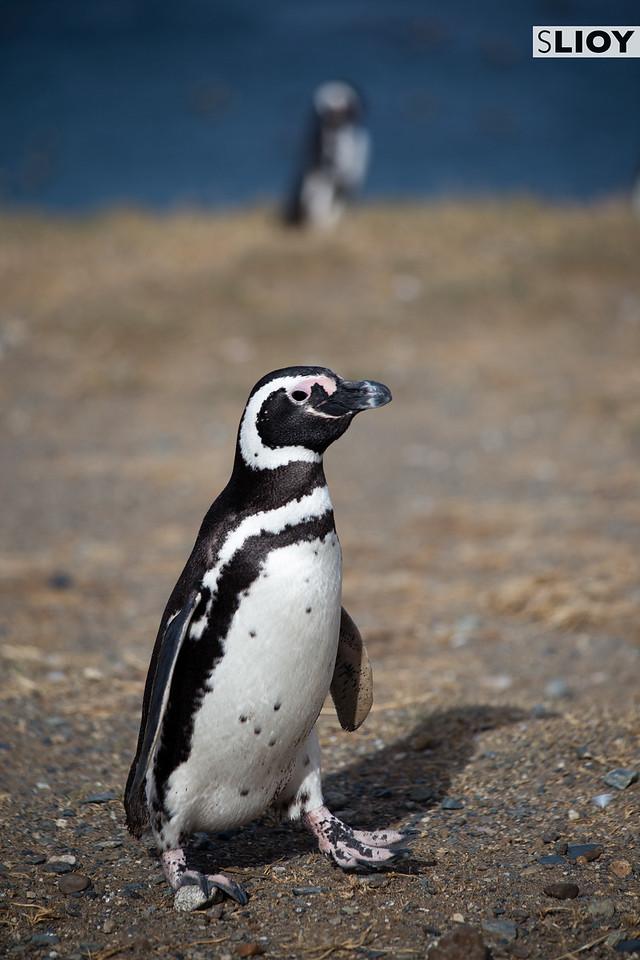 Magellanic Penguin on Chile's Isla Magdalena.