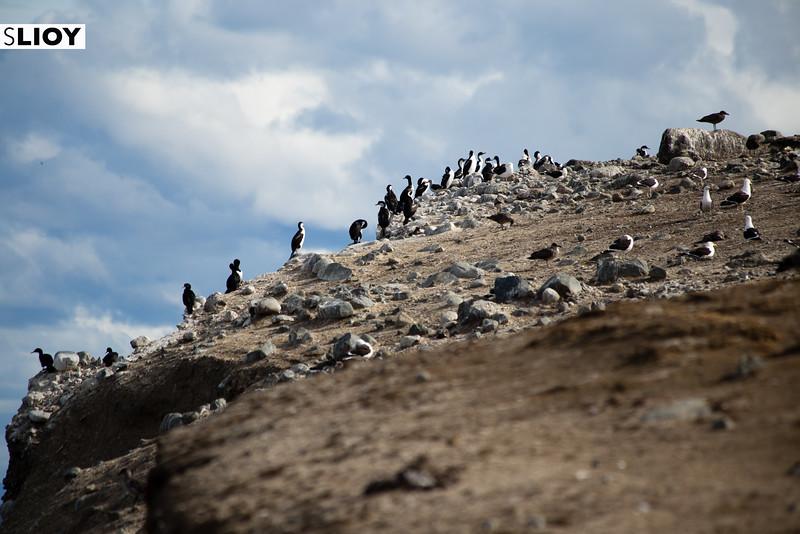 Cormorant colony on Isla Magdalena in Chilean Patagonia.