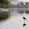 Bird life near the Jal Mahal (Water Palace) in Jaipur.