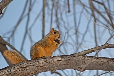 Squirrel eating a nut in a tree. Enjoy and hold hands.