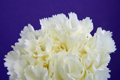 Carnation with Purple Background