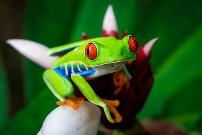 Red eyed tree frog / Sarapiqui, Costa Rica