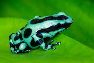 Poison dart frog / Sarapiqui, Costa Rica