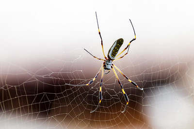 Banana spider / Cahuita NP, Costa Rica